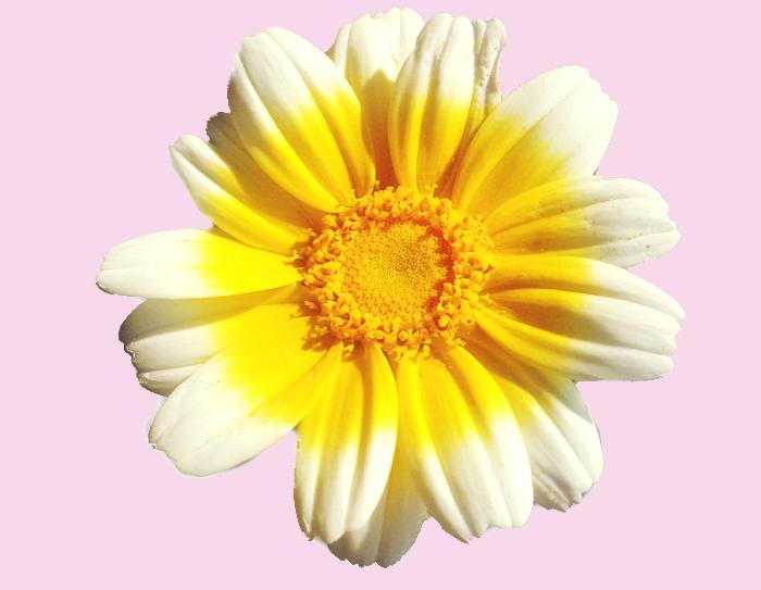 実験!!ダイソーで買った中葉しゅんぎくを育てると菊の花が咲くのか?咲いた。ではその春菊の花は食べれるのか?